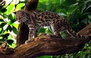 Margay on large tree limb