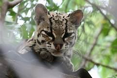 Face of margay cat