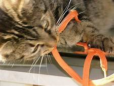 Grey tiger cat playing with shoelace