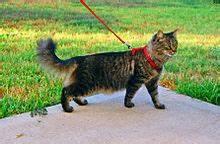Tabby cat on leash