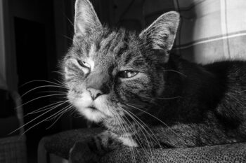 Tired-looking old grey striped cat