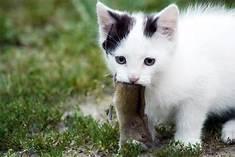 White & black kitten carrying mouse
