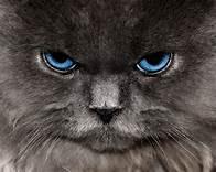Head of grey cat, blue eyes, looking mad