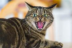 Grey tiger cat, mouth open in rage