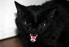 Black cat, teeth bared