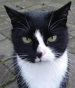 Head and shoulders, tuxedo cat